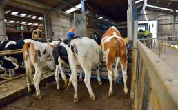 Saiba como é o transporte seguro de gado 1